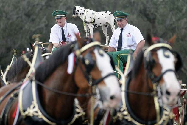 The Anheuser Busch famous horses, the Clydesdales, wait in line to kick off the courir parade down Lakeshore Drive on Thursday, February 7,2013, in Port Arthur. Photo taken: Randy Edwards/The Enterprise Photo: Randy Edwards