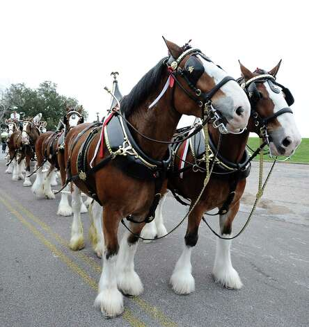 The Anheuser Busch famous horses, the Clydesdales, wait in line to kick off the courir parade down Lakeshore Drive on Thursday, February 7,2013, in Port Arthur. Photo taken: Randy Edwards/The Enterprise