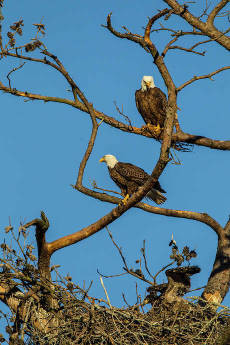 Bald eagles are tending to their nests and living along waterways this winter in Texas.  Photo Credit: Kathy Adams Clark. Restricted use. Photo: Kathy Adams Clark / Kathy Adams Clark/KAC Productions