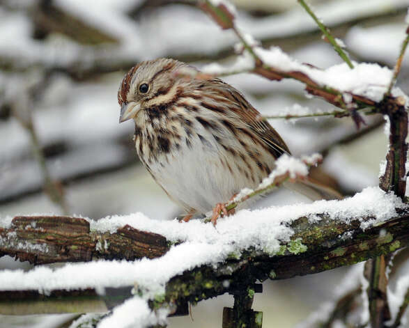 A sparrow on a snow-covered tree branch during the snowstorm that hit the Byram section of Greenwich, Conn., Friday, Feb. 8, 2013. Photo: Bob Luckey / Greenwich Time