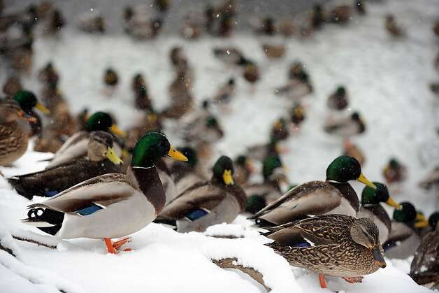 Ducks huddle in the snow near a frozen pond, in Stratford, Conn., Feb. 8th, 2013. Photo: Ned Gerard