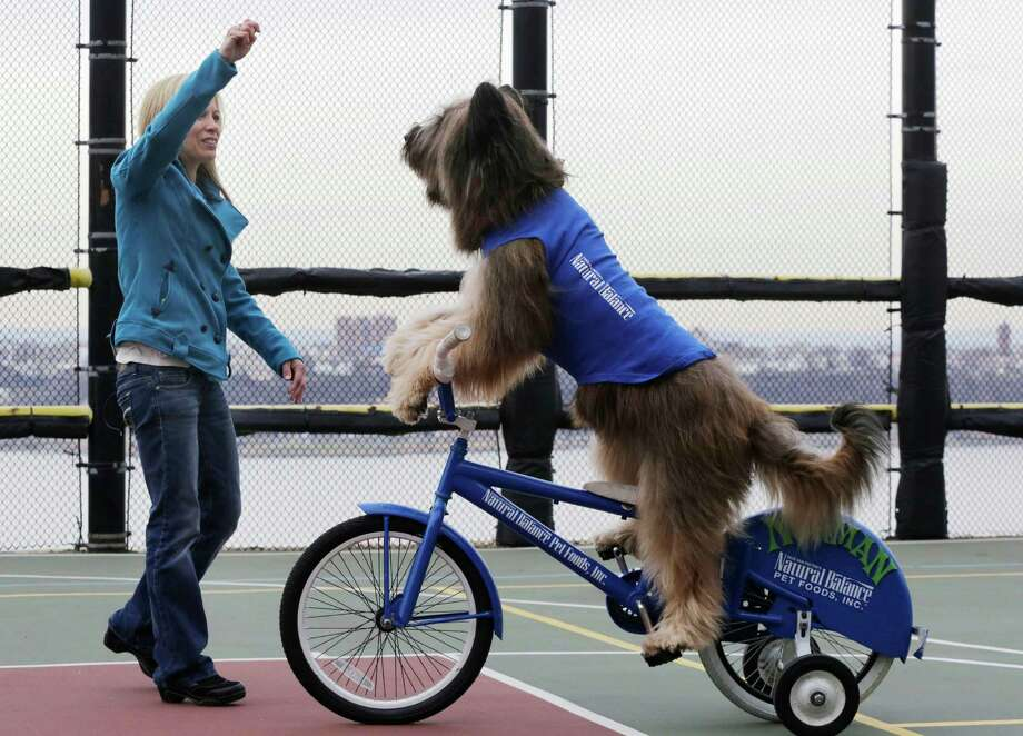 "Karen Cobb motions to Norman the Scooter Dog as he rides his bicycle on a rooftop basketball court overlooking the Hudson River in New York on Thursday, Feb. 7, 2013.  Norman stars in the Hallmark Channel series, ""Who let the Dogs Out."" Cobb is Norman's owner and trainer. Photo: Mark Lennihan, AP / AP"