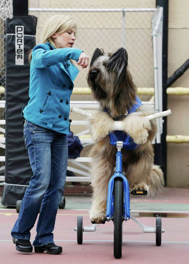 """Karen Cobb works with Norman the Scooter Dog as he rides his bicycle on a rooftop basketball court in New York, Thursday, Feb. 7, 2013.  Norman stars in the Hallmark Channel series """"Who Let the Dogs Out."""" Cobb is Norman's owner and trainer. Photo: Mark Lennihan, AP / AP"""