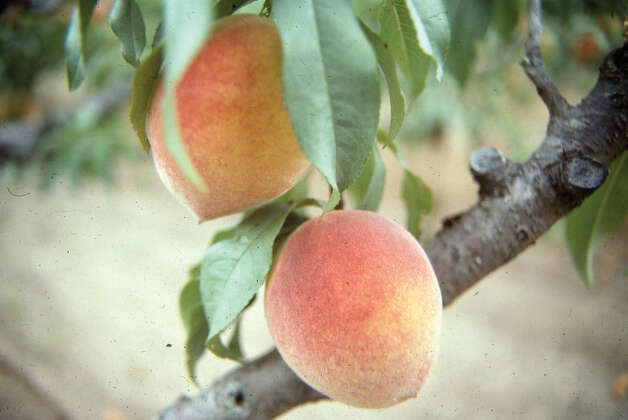 Peaches are a bit easier to grow in San Antonio than apples, but they are still difficult. To improve the success of growing fruit, choose varieties right for local soils and climate. Photo: Express-News File Photo