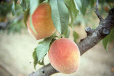 Peaches are a bit easier to grow in San Antonio than apples, but they are still difficult. To improve the success of growing fruit, choose varieties right for local soils and climate.