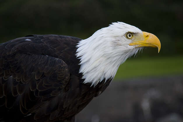 Bald eagles are being sighted in a number of areas this winter. A large bird with a wingspan of 6 to 8 feet, eagles usually are found around woods with fish-laden waterways nearby. Photo: Photos By Kathy Adams Clark / KAC Production
