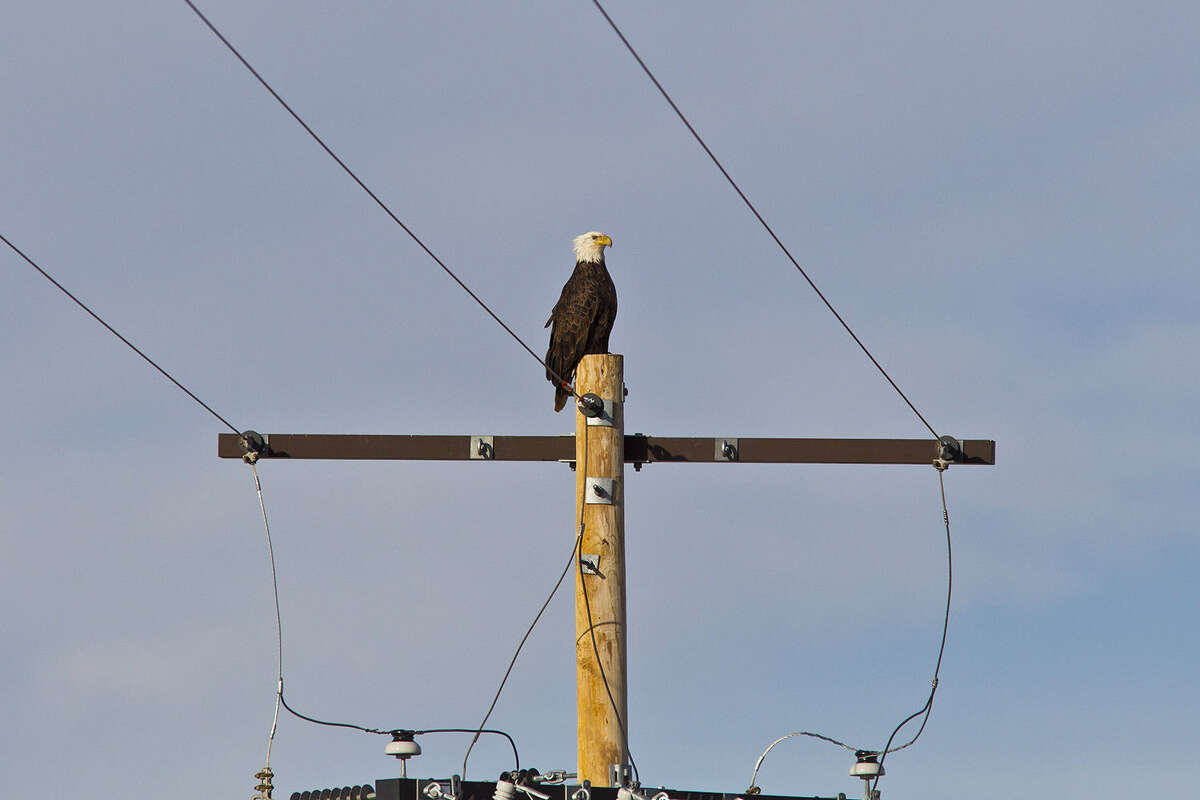 Bald eagles, which were removed from the endangered species list in 2007, number around 10,000 breeding pairs in the lower 48 states. There are roughly 156 pairs in Texas.