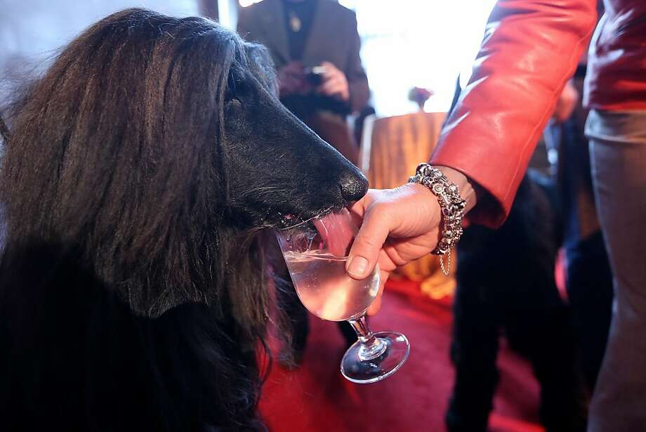 Well, he does have the nose for it:Apparently there's wine tasting this year at the Westminster Kennel Club Dog Show in New York. (Ed.'s note: It's just water.) Photo: Mario Tama, Getty Images