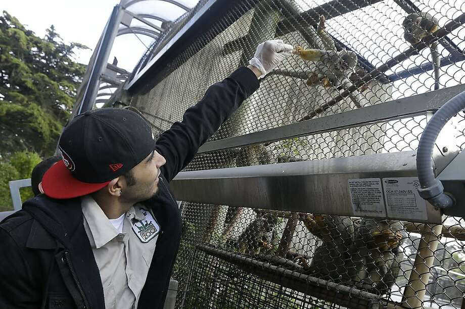 He wanted a peanut, but Romo shook him off and gave him a sunflower seed:Sergio Romo feeds a squirrel monkey named Buster Posey at the San Francisco Zoo. The zoo has named a 4-month-old female langur monkey after the Giants' star reliever. Photo: Jeff Chiu, Associated Press