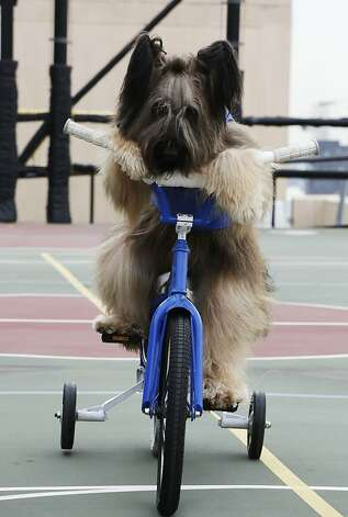 "We can't believe he's still on training wheels: Norman the Scooter Dog, who is 28 in human years, goes for a spin on a rooftop basketball court in New York. Norman is the star of the Hallmark Channel series ""Who let the Dogs Out."" Photo: Mark Lennihan, Associated Press"