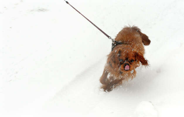 A playful dog walks in the snow tugging its owner along West River Street in Milford Conn. on Friday February 8, 2013. Photo: Christian Abraham / Connecticut Post