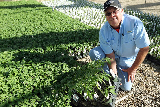 Rodney Peterson, of Peterson Bros. Nursery, shows  Tygress tomato plants. The plant will be at the  Stock Show & Rodeo. Photo: Jerry Lara / San Antonio Express-News