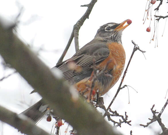 A robin eats a red berry while sitting on a branch in a tree at the top of Greenwich Avenue during the snowstorm that hit Greenwich, Conn., Friday, Feb. 8, 2013. Photo: Bob Luckey / Greenwich Time