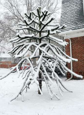 Heavy snow continued to fall  on Friday, Feb. 8, 2013. This unusual tree is on South Pine Creek Rd. in Fairfield, Conn. Photo: Cathy Zuraw / Connecticut Post