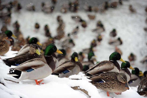 Ducks huddle in the snow near a frozen pond, in Stratford, Conn., Feb. 8th, 2013. Photo: Ned Gerard / Connecticut Post