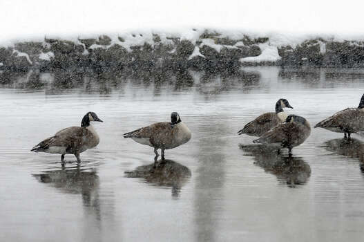 Geese cope with the falling snow and freezing cold water as a major snow storm hits the region in Milford Conn. on Friday February 8, 2013. Photo: Christian Abraham / Connecticut Post