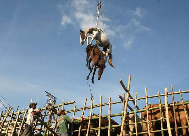 Horses are hoisted in the air by a crane as they are being transferred from a cargo ship onto a truck upon arrival at a port in Surabaya, East Java, Indonesia, Friday, Feb. 8, 2013. Hundreds of horses and cows arrived at the port Friday from West Timor to be distributed to various cities on the main island of Java. Photo: Trisnadi, Associated Press