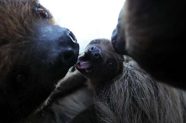 A 6-week old sloth baby plays with its mother 'Banya' at the Budapest Zoo and Botanic Garden in the Hungarian capital on February 8, 2013. The young animal was born on December 24, 2012.  Photo: Attila Kisbenedek, AFP/Getty Images