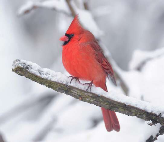 A Cardinal sits on the snow-covered branch of a tree in Byram during the aftermath of the blizzard that hit Greenwich, Conn., Saturday morning, Feb. 9, 2013. Photo: Bob Luckey / Greenwich Time