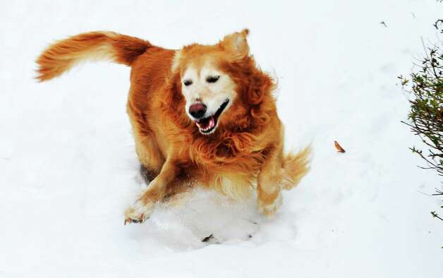 A golden retriever romps in the snow in Danbury Saturday, Feb. 9, 2013. Photo: Michael Duffy / The News-Times