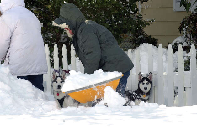 Resident Steve Grippen shovels show as his huskies Yukon and Sasha, right, enjoy the snow after a blizzard pounded the region in West Haven, Conn. on Saturday February 9, 2013. Photo: Christian Abraham / Connecticut Post
