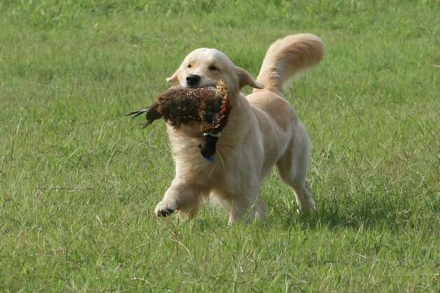 Finley is a show dog, but his favorite activing is hunting.