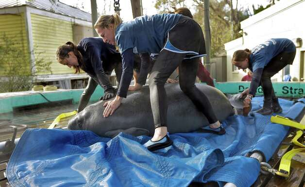 "Members of Tampa's Lowry Park Zoo's manatee relief team prepare to load ""Lorac,"" a two-year-old female West Indian Manatee, into a harness for release Monday in Tampa, Fla. ""Lorac"" was rescued after being orphaned in 2010 near Cape Coral.  She is being released in Homosassa Springs. Photo: AP"