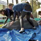 "Members of Tampa's Lowry Park Zoo's manatee relief team prepare to load ""Lorac,"" a two-year-old female West Indian Manatee, into a harness for release Monday in Tampa, Fla. ""Lorac"" was rescued after being orphaned in 2010 near Cape Coral.  She is being released in Homosassa Springs."