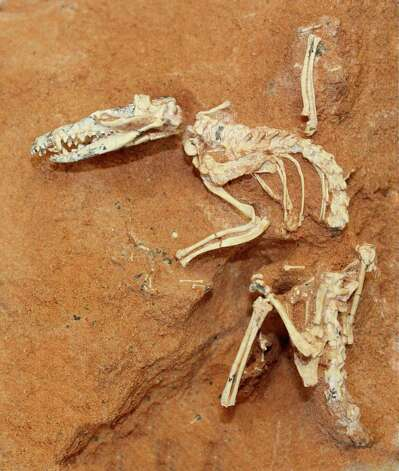 This undated image provided by the American Museum of Natural History shows a shrew-sized Cretaceous-age animal, Ukhaatherium nessovi, which is one of the many mammals used in a mammal tree-of-life study released Thursday. The fossil was discovered in 1994 in the Gobi Desert by the Mongolian Academy and the American Museum of Natural History. A team led by Maureen O'Leary of Stony Brook University looked at 4,541 different characteristics of mammals still around and extinct and traced their DNA and their physical features back until it seemed there was a common - and hypothetical - ancestor. They never named the hypothetical creature, not even nicknamed it, but they had an expert draw it based on the features they're pretty sure it had. Photo: AP