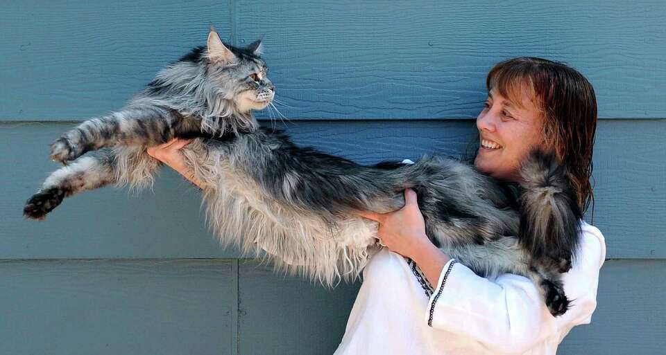 In this 2009 photo, Robin Hendrickson stretches out her Maine Coon cat Stewie outside of her home in