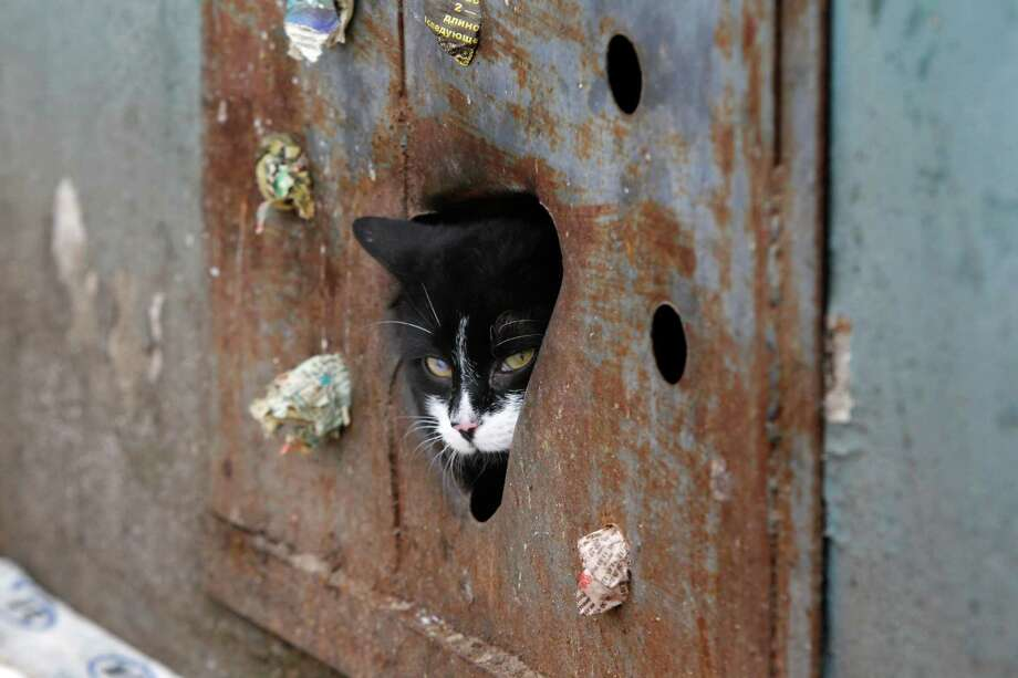 A stray cat looks through a hole in an iron panel covering a basement window in the Belarusian capital Minsk, Monday. Municipal authorities in Belarus have walled up stray cats in basements in compliance with Soviet-era regulations, dooming them to death of hunger. But some residents made holes for cats to escape. Photo: AP