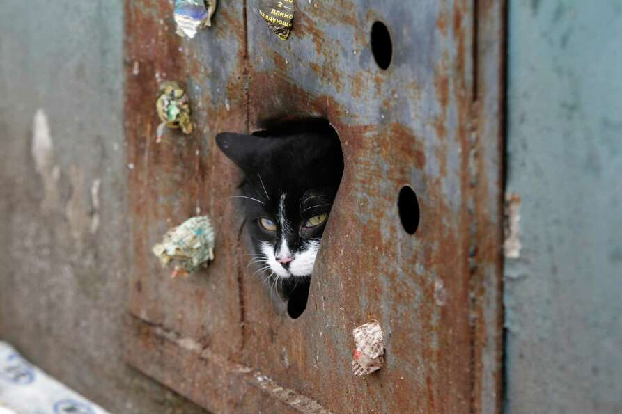 A stray cat looks through a hole in an iron panel covering a basement window in the Belarusian capit