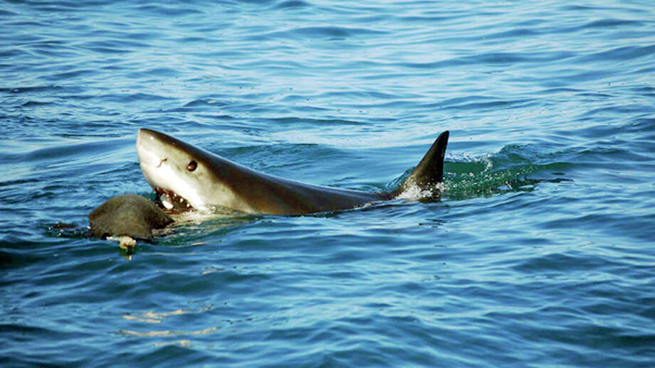 Great white sharks are the most feared predator in the ocean, but the state of California thinks great white sharks might need a little protecting of their own. On Wednesday, California's Fish and Game Commission voted unanimously to consider a petition filed by three environmental groups that would classify great whites as an endangered species Photo: AP