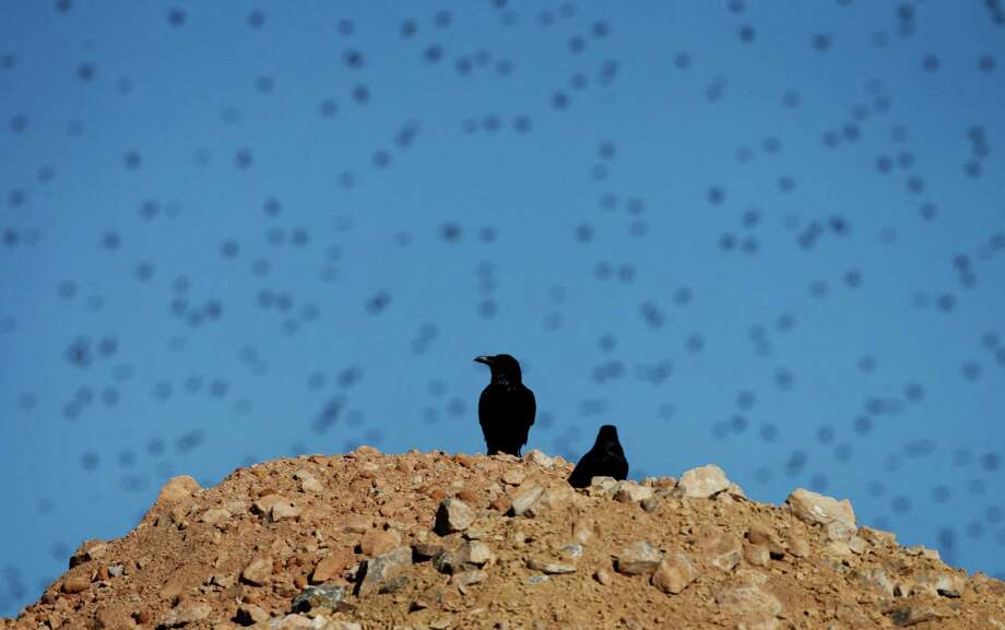 Ravens stand on a rock pile as other birds fly in the background at the Apex Landfill north of Las Vegas Friday.  Ravens pose a growing problem for ranchers, wildlife managers and two well-known species struggling to survive. The clever and adaptable black bird preys on both the desert tortoise and the sage grouse, the former already protected under the Endangered Species Act, the latter on track to join it. Efforts to save those species could mean death for more ravens. Already, the birds are killed by the thousands in Nevada each year. Some people think far more ravens need to die. Others believe the wholesale murder of them won't accomplish anything - and it might just make things worse. Photo: AP