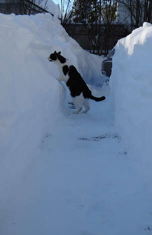 Stormy, an appropriately named feline, checks out a newly plowed snow canyon in Fairfield.  FAIRFIELD CITIZEN, CT 2/10/13 Photo: Mike Lauterborn / Fairfield Citizen contributed