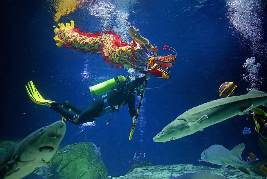 A diver performs the dragon dance during the special program for celebrating Chinese Lunar New Year at Beijing Aquarium on February 10, 2013 in Beijing, China. The Chinese Lunar New Year of Snake also known as the Spring Festival, which is based on the Lunisolar Chinese calendar, is celebrated from the first day of the first month of the lunar year and ends with Lantern Festival on the Fifteenth day. Photo: Feng Li, Getty Images