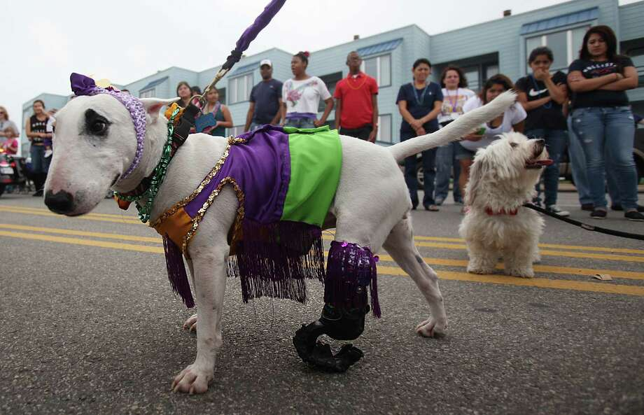 Sasha walks on her artificial leg during the Krewe of Barkus & Meoux Parade along the Seawall on Sunday, Feb. 10, 2013, in Galveston. Photo: Mayra Beltran, Houston Chronicle / © 2013 Houston Chronicle