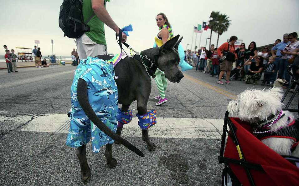 Bacchus, a two year old Great Dane, checks out another parade participant.