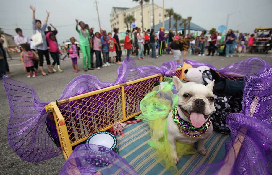 Talula, a French Bulldog, rides in a float. Photo: Mayra Beltran, Houston Chronicle / © 2013 Houston Chronicle