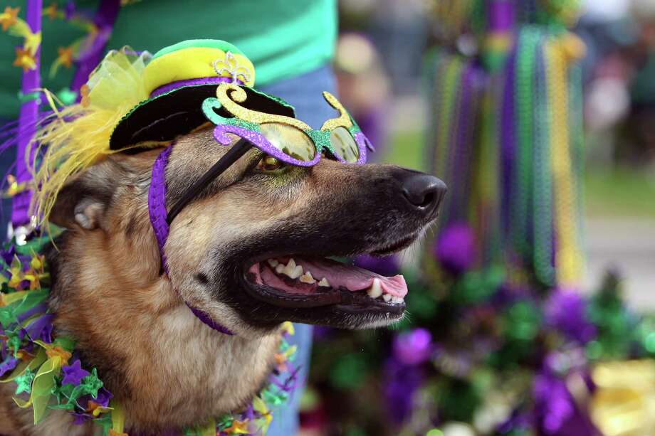 Cali, a German Shepherd, looks dashing. Photo: Mayra Beltran, Houston Chronicle / © 2013 Houston Chronicle