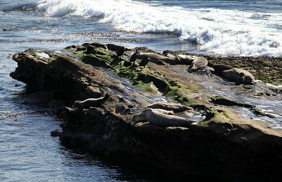 Sea Lions lay on the rocks below the 18th tee box on the Pebble Beach Golf Links course during the third round of the AT&T Pebble Beach National Pro-Am at Pebble Beach Golf Links on February 9, 2013 in Pebble Beach, Calif. Photo: Lance Iversen, The Chronicle