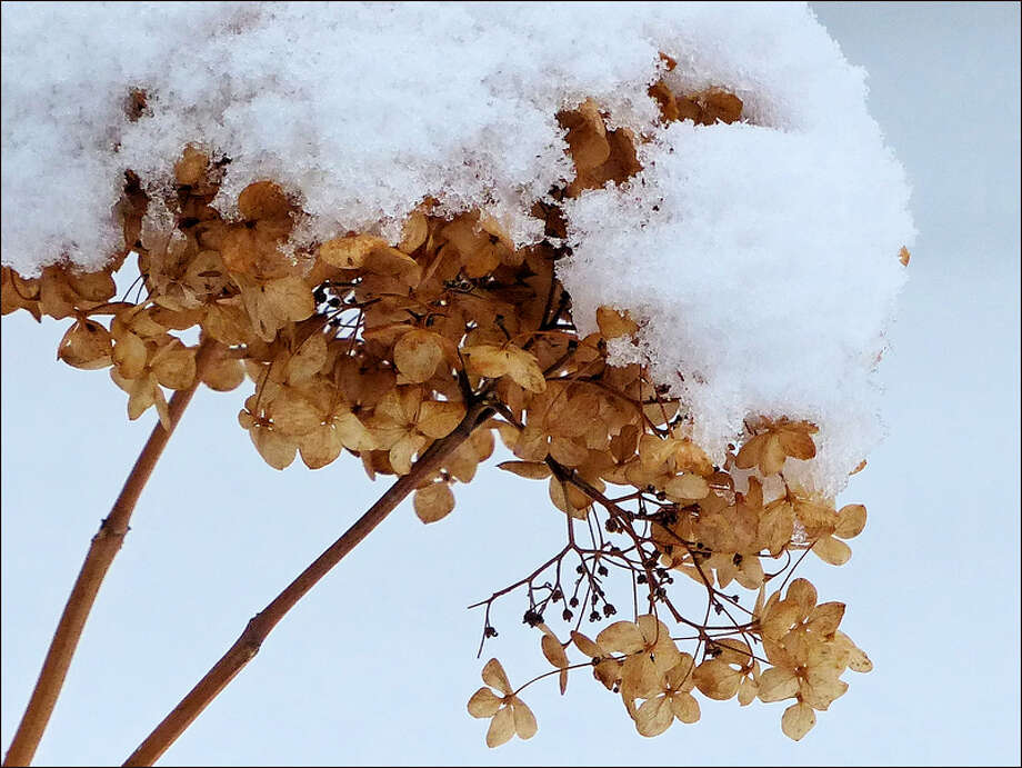 "Claudia Gregoire of Scotia-Glenville took ""Chapeau"" during our last big snowstorm. She was taking photos in the back yard, and the dry color against the white snow caught her eye. The florets looked like parchment, and the cap of snow enhanced it. (Claudia Gregoire)"