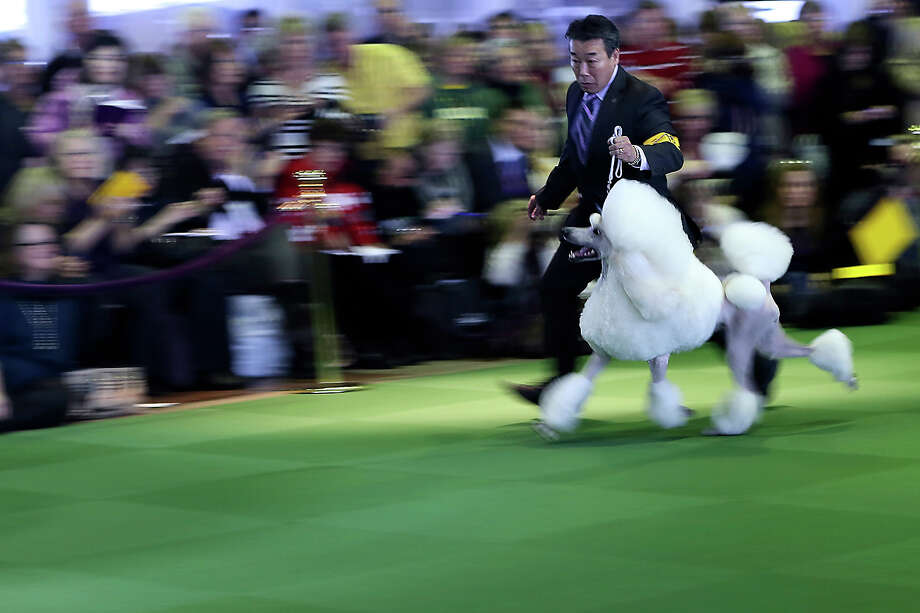 A handler shows a standard poodle in the ring during the 137th Westminster Kennel Club dog show, Monday, Feb. 11, 2013 in New York.  (AP Photo/Mary Altaffer) Photo: Mary Altaffer, ASSOCIATED PRESS / AP2013