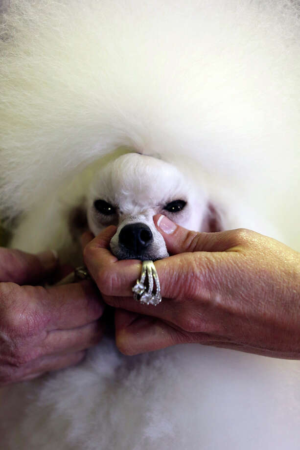 Angel, a 2-year-old Toy Poodle from Houston, Texas, is groomed prior to competition during the 137th Westminster Kennel Club dog show, Monday, Feb. 11, 2013 in New York.  (AP Photo/Mary Altaffer) Photo: Mary Altaffer, ASSOCIATED PRESS / AP2013