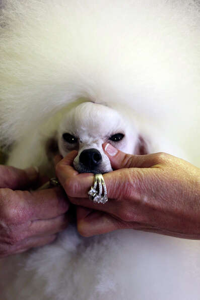 Angel, a 2-year-old Toy Poodle from Houston, Texas, is groomed prior to competition during the 137th