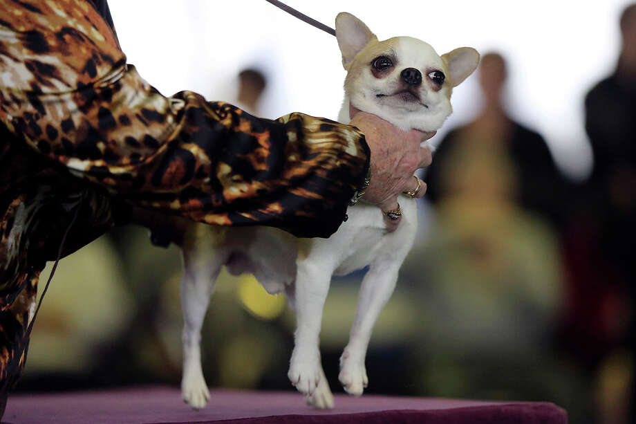 A handler places a smooth coat Chihuahua on the table for inspection during competition at the 137th Westminster Kennel Club dog show, Monday, Feb. 11, 2013 in New York.  (AP Photo/Mary Altaffer) Photo: Mary Altaffer, ASSOCIATED PRESS / AP2013