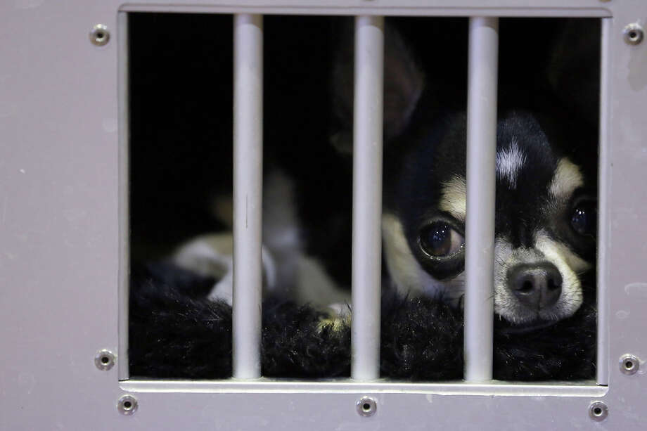 A smooth coat Chihuahua waits in his cage in the benching area during the 137th Westminster Kennel Club dog show, Monday, Feb. 11, 2013 in New York.  (AP Photo/Mary Altaffer) Photo: Mary Altaffer, ASSOCIATED PRESS / AP2013