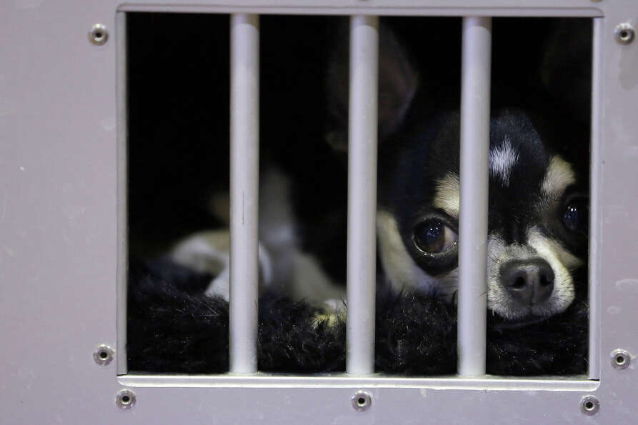 A smooth coat Chihuahua waits in his cage in the benching area during the 137th Westminster Kennel C