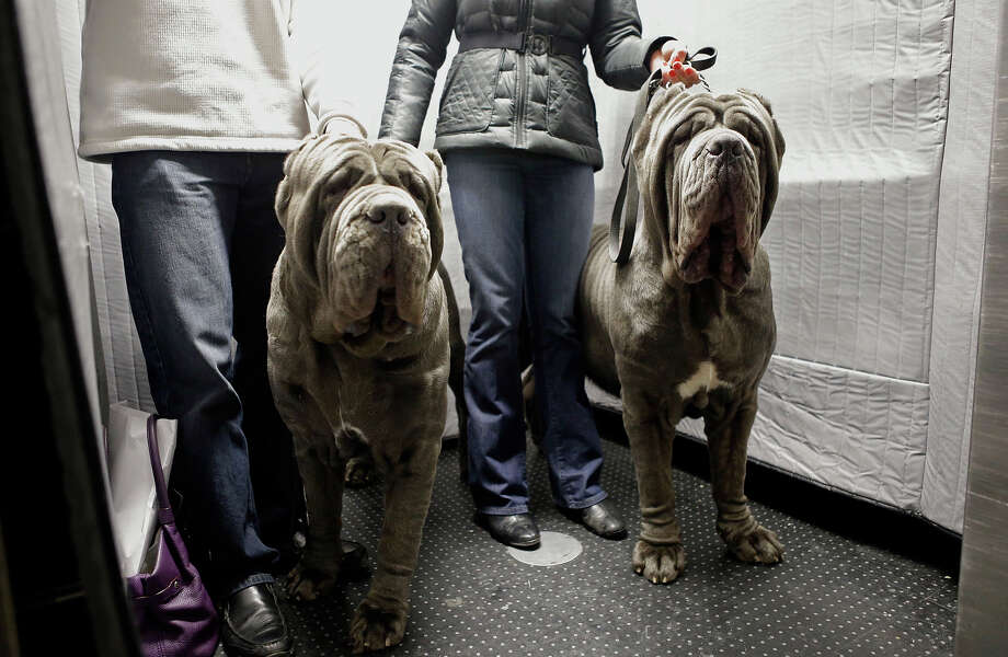 A pair of Neapolitan mastiffs named Paparazzi and Ruben ride the elevator with their owners after checking into the Hotel Pennsylvania in New York, Sunday, Feb. 10, 2013, in preparation for the Westminster Dog Show, which is Monday and Tuesday.  The hotel is located directly across from Madison Square Garden, where the show is held.  (AP Photo/Kathy Willens) Photo: Kathy Willens, ASSOCIATED PRESS / AP2013