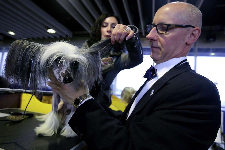 Karen Spinazzola, background, and David Bowen, of Cleveland, Ohio, groom Vinny, a Chinese Crested during the 137th Westminster Kennel Club dog show, Monday, Feb. 11, 2013 in New York.  (AP Photo/Mary Altaffer) Photo: Mary Altaffer, ASSOCIATED PRESS / AP2013